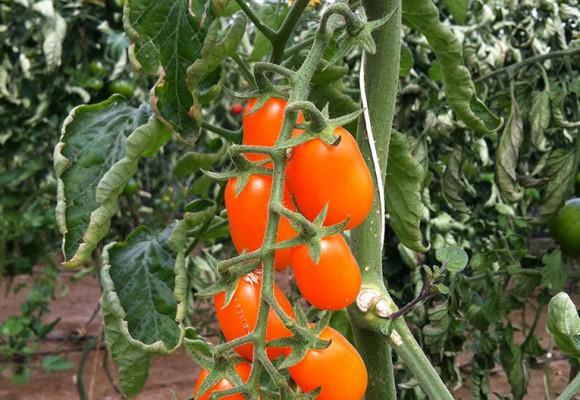 Tomate Cherry Naranja Perita