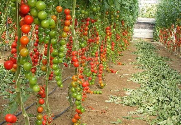 Tomate Cherry Ramo
