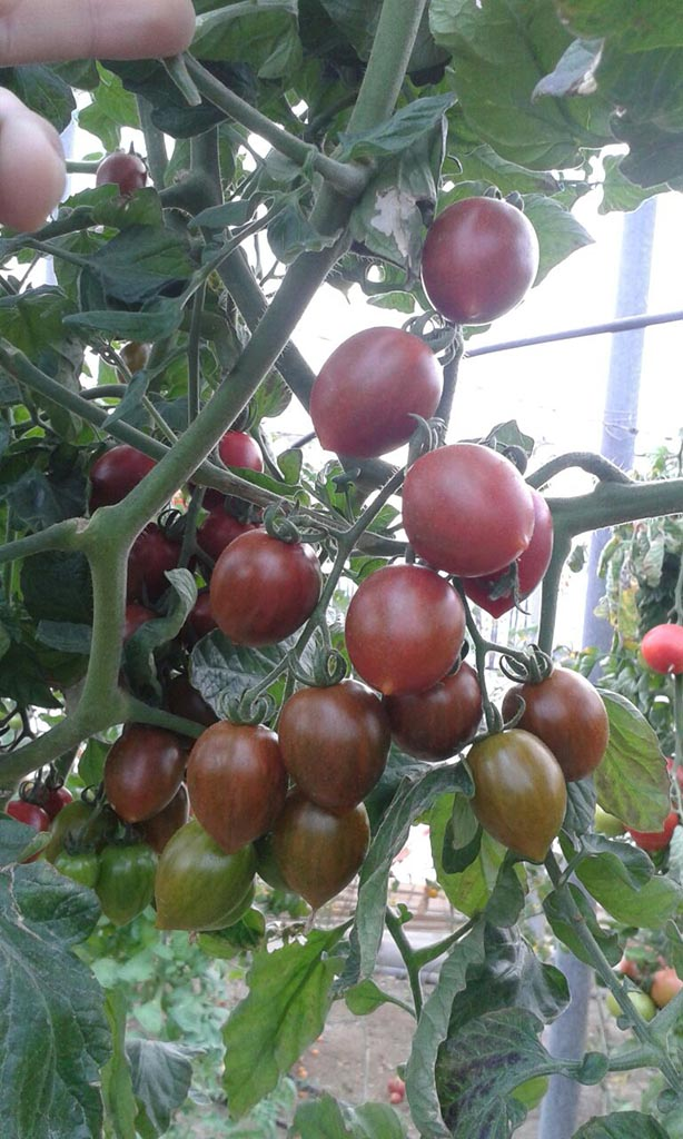 Tomate Cherry Tiger
